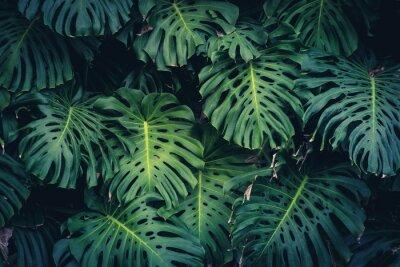 Наклейка Monstera Philodendron leaves - тропическое лесное растение