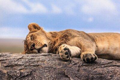 Наклейка Одна львица спит на скале в Серенгети NP, Танзания, Африка