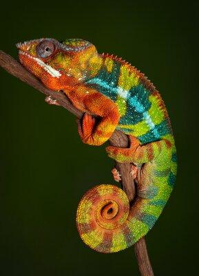 Наклейка Panther Chameleon at rest