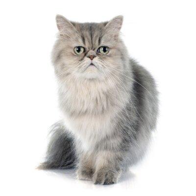 Наклейка персидский кот