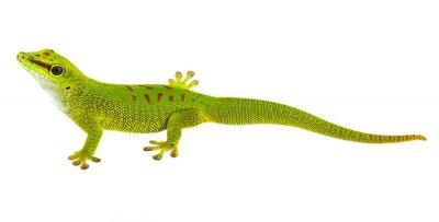 Наклейка Фельзумы madagascariensis - геккон, изолированных на белом
