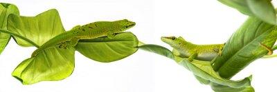 Наклейка Мадагаскарский дневной геккон - геккон, изолированных на белом