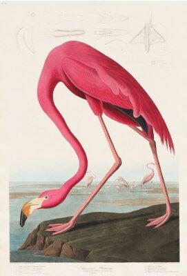 Наклейка Розовый фламинго из «Птиц Америки» (1827) Джона Джеймса Одюбона (1785–1851), запечатленный Робертом Хавеллом (1793–1878)