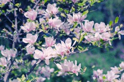 Наклейка Розовые цветы магнолии как красивые цветочные фон весной (неглубоко ФО, ретро-стиле)