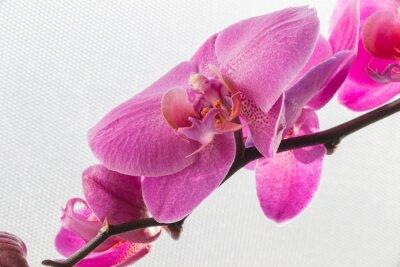 Наклейка Розовая орхидея / цветок, изолированных на белом фоне