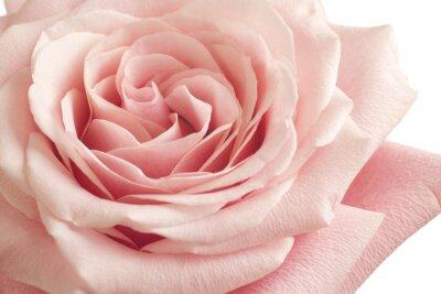 Наклейка розовая роза крупным планом