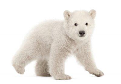 Наклейка Полярный медвежонок, Ursus тагШтиз, 3 месяца