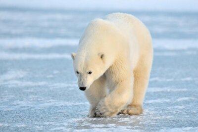 Наклейка Белый медведь, ходить на голубого льда.