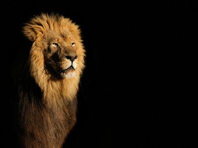 Наклейка Портрет большой мужской африканского Льва (пантеры Лео) на черном фоне, Южная Африка.