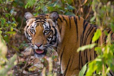 Наклейка Портрет тигра в дикой природе. Индия. Национальный парк Бандхавгарх. Мадхья-Прадеш. Отличной иллюстрацией.