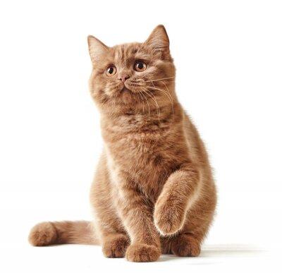 Наклейка портрет британского котенка
