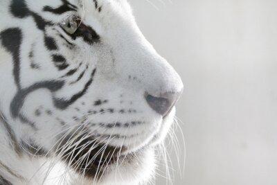 Наклейка Porträt Weißer Tiger