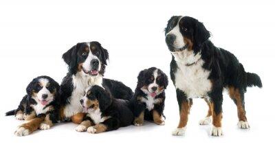 Наклейка щенки и взрослые собаки бернский Moutain
