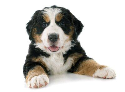 Наклейка щенок бернский Маутейн собака