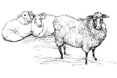 Наклейка Рам и овец