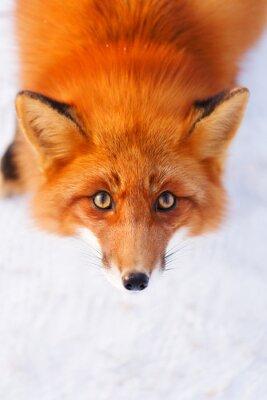 Наклейка Red Fox