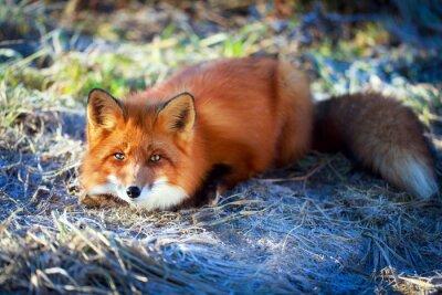 Наклейка рыжая лиса