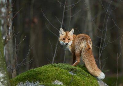 Наклейка Красная лиса на моховой скалы, глядя прямо в объектив ,, Чешская Республика, Европа