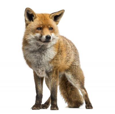 Наклейка Красная лиса, Vulpes Vulpes, стоя, изолированных на белом