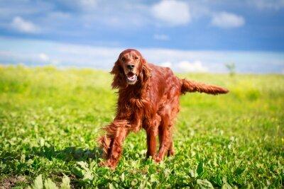 Наклейка Красный Ирландский сеттер собака