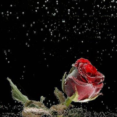 Наклейка Красная роза в капельках росы на черном фоне