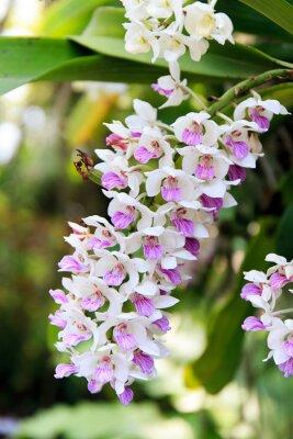 Наклейка Rhynchostylis орхидеи.