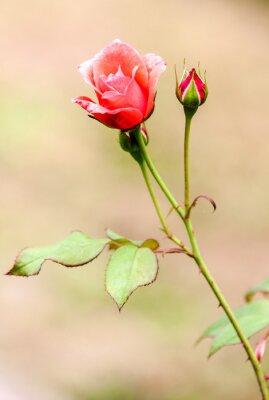 Наклейка роза champêtre