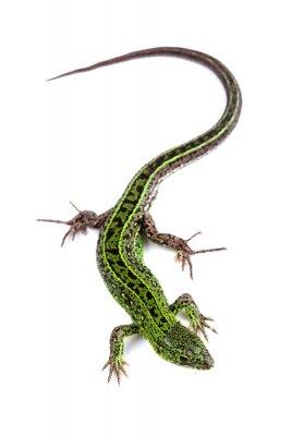 Наклейка Sand lizard (Lacerta agilis) isolated on white
