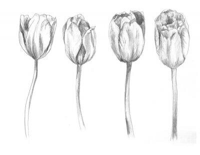 Наклейка Set of hand drawn tulips. Sketch, flower, illustration
