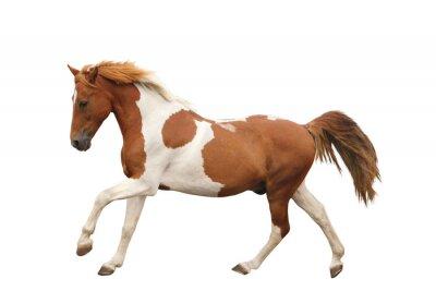 Наклейка Пегий пони галопом, изолированных на белом