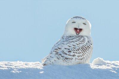 Наклейка Snowy Owl - Yawning / Smiling in Snow