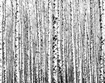 Наклейка Весенние стволы берез черно-белый