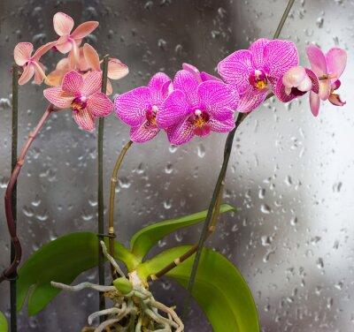 Наклейка Стебли с цветами орхидеи на фоне окна с каплями дождя