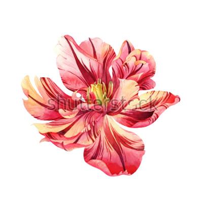Наклейка Изолированный акварель розовый тюльпан на белом фоне
