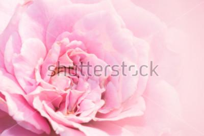 Наклейка Цветок розы пинка на розовой предпосылке с малой глубиной поля и фокуса центр цветка розы. Красивая розовая роза в саду. розовая роза макро.