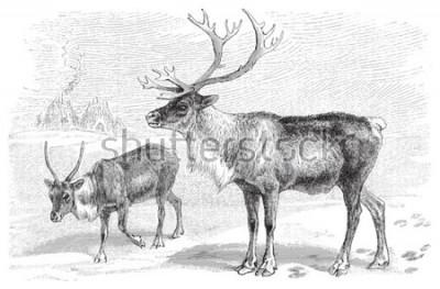 Наклейка Reindeer (Rangifer tarandus) / vintage illustration from Meyers Konversations-Lexikon 1897