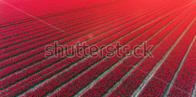 Наклейка Red tulip field Netherlands