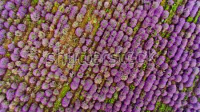 Наклейка Lavender field aerial view. Top view.