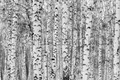 Наклейка Birch forest winter landscape, black and white photo