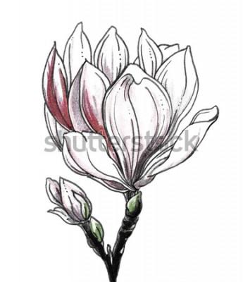 Наклейка Цветение цветка белой магнолии тропическое на белой предпосылке. Вручите вычерченную иллюстрацию акварели ботаническую черно-белую monochrome для печати свадьбы, карточки, приглашения. Японский стиль.