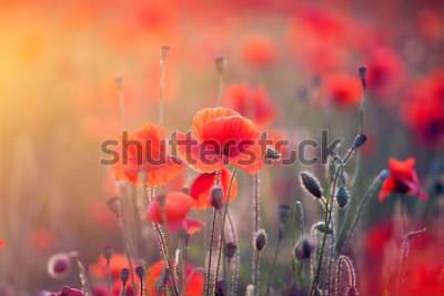 Наклейка Красивое поле красных маков в свете захода солнца.