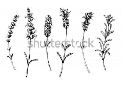 Наклейка Цветы дикой лаванды и сорта. Старинный цветочный набор. Чернила рисованной эскиз. Векторная иллюстрация