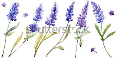 Наклейка Акварель фиолетовые цветы лаванды. Цветочный ботанический цветок. Изолированный элемент иллюстрации. Акварельный полевой цветок для фона, структуры, образца обертки, структуры или границы.