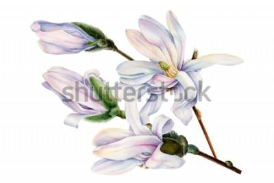 Наклейка ветка весенней магнолии цветы на белом фоне, Акварельные иллюстрации, ботаническая живопись