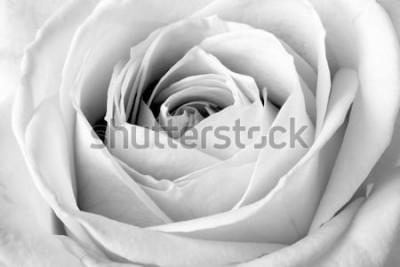 Наклейка Белая роза, черно-белый макрос