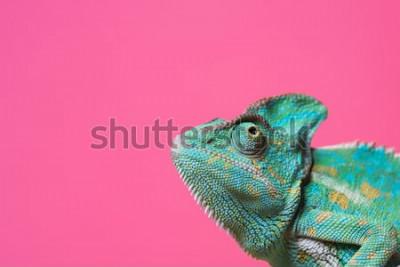 Наклейка крупным планом милый красочный экзотический хамелеон, изолированных на розовый