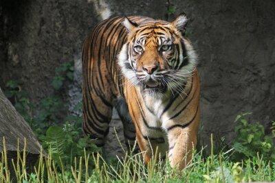 Наклейка Суматранский тигр в зоопарке Варшавы. Солнечный летний день.