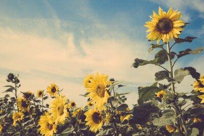 Наклейка подсолнечника полевой цветок голубого неба старинные ретро