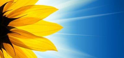 Наклейка Подсолнечное цветок солнце на фоне голубого неба