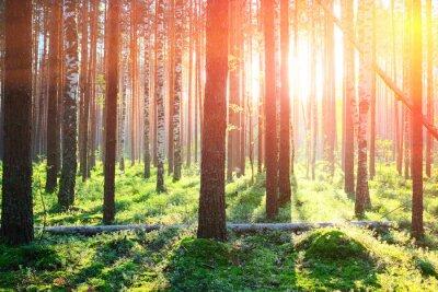 Наклейка Восход солнца в сосновом лесу